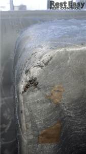 bed bug infestation on a box spring