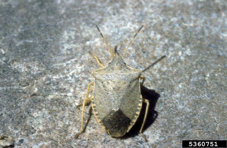 stink bug on the ground