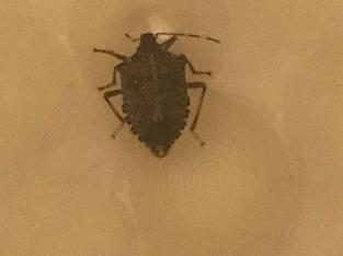 Stink bug in a bathtub