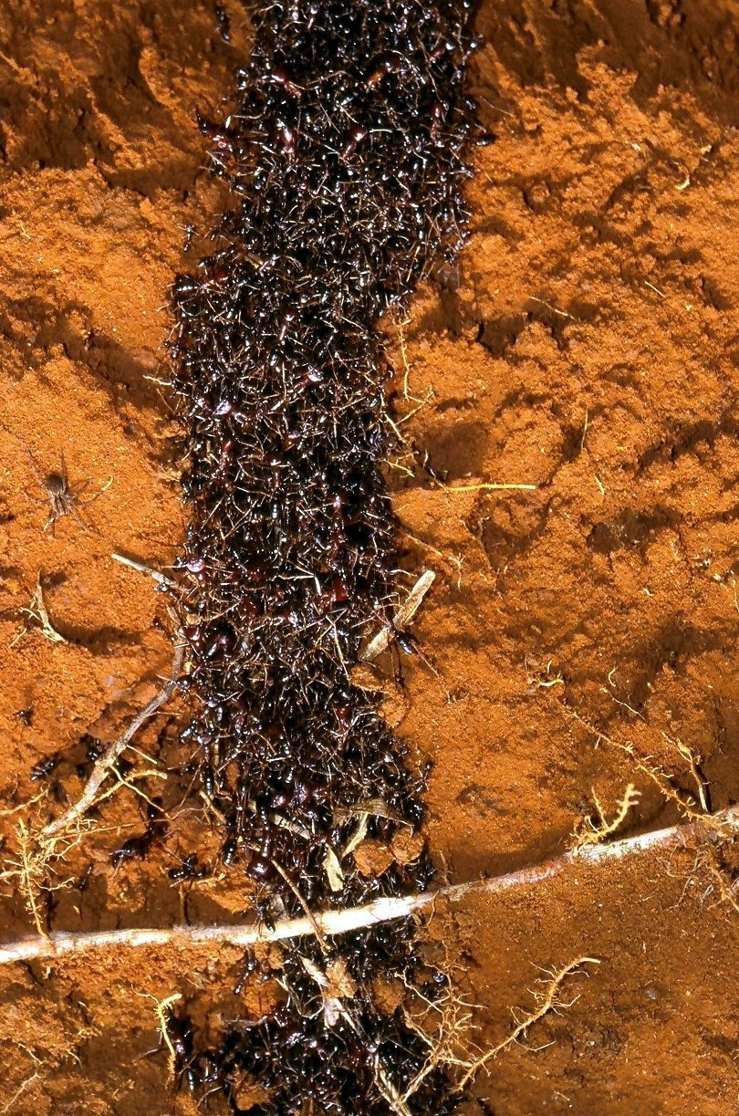 safari ants tunnel