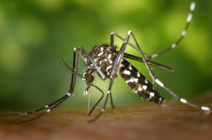 tiger mosquito is sucking blood