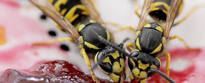 Hornet Sting: Beware of Hornet Sting This Summer