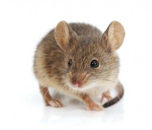 a house mouse on a white background