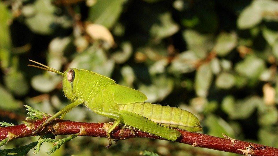 cricket in plants
