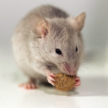 a house mouse is eating its food