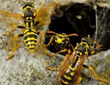 Wasps Nest: Where Do Wasps Build Their Nest?