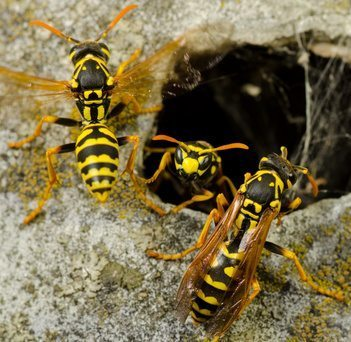 wasps on their nest