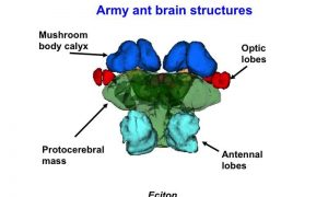 army ant brain structures