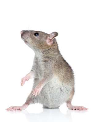 a house mouse on white background