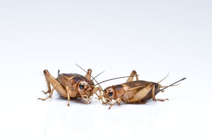 two crickets on a white background