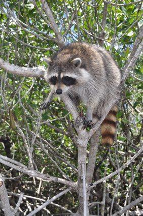 a raccoon on tree