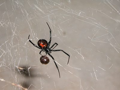 black widow spider hanging on its web