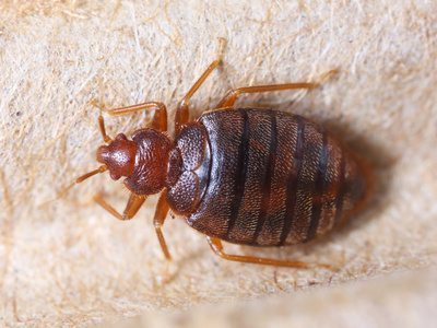 a bed bug on a carpet