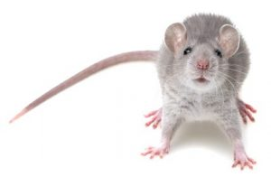 a mouse on white background
