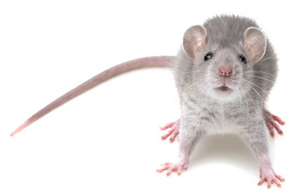 house mouse in white background