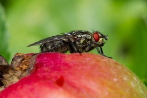 fly on an apple