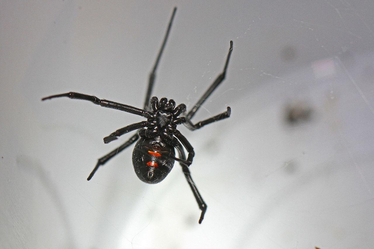 poisonous spider, Rest Easy Pest Control, Long Island Exterminator