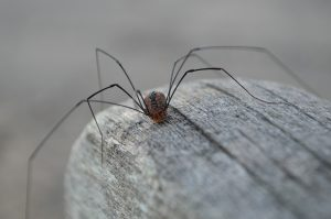 daddy long legs spider on a rock