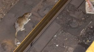 a rat on NYC subway rail