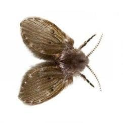 a drain fly on white background