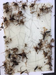 crickets trapped on a glued board