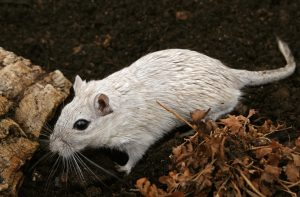 keep out rats after a flood, Rat Infestation Following Hurricane Sandy: How to Keep Out Rodents After A Flood