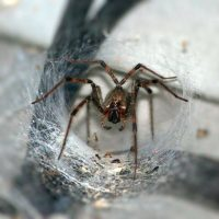 funnel spider in its web