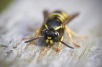 Wasp Facts: How Are Wasps Nests Built From Wood?