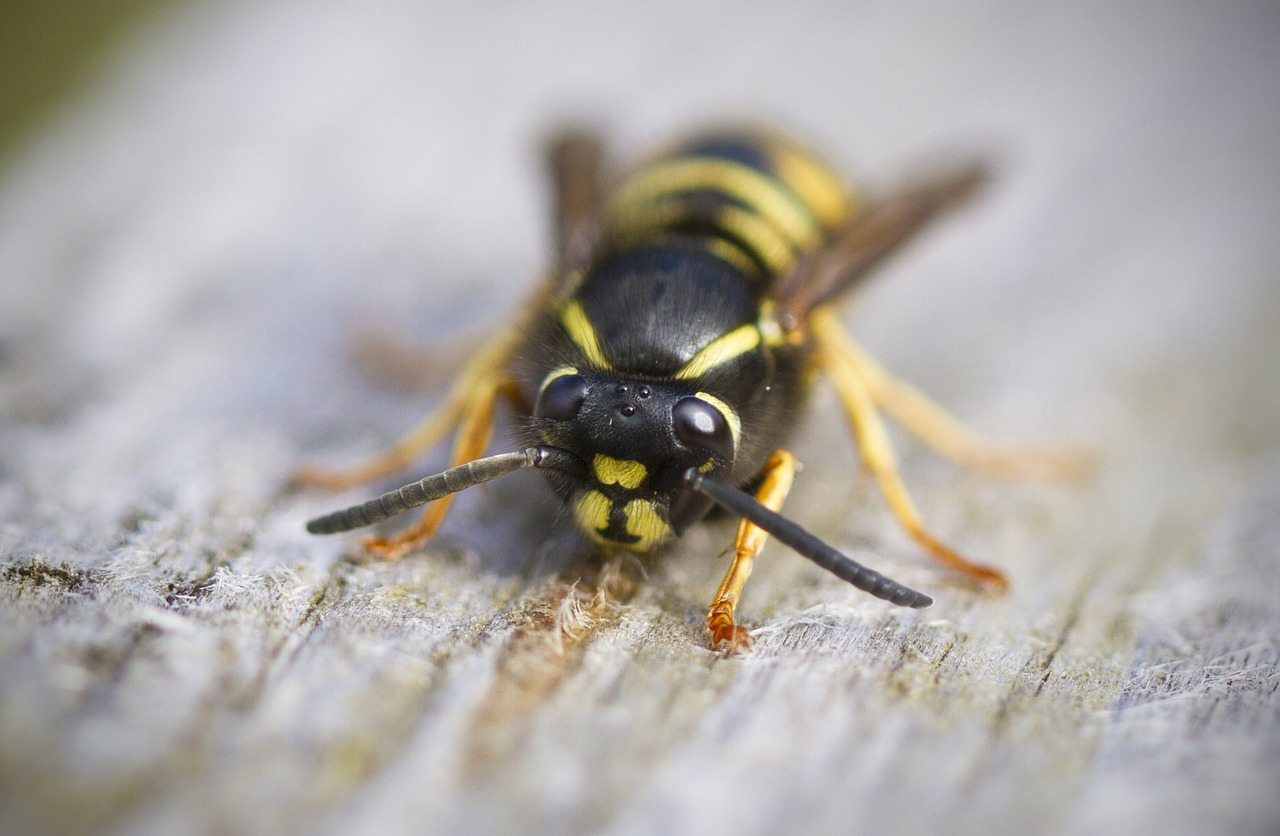 wasp on the ground
