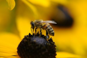 a honey bee on a sunflower