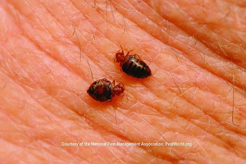 two bed bugs on human's skin