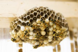 wasps in their nest