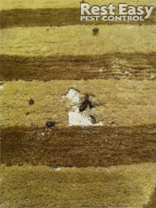carpet infested by carpet beetles