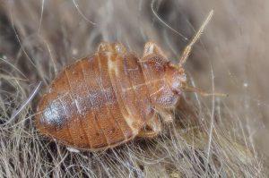 bed bug crawling