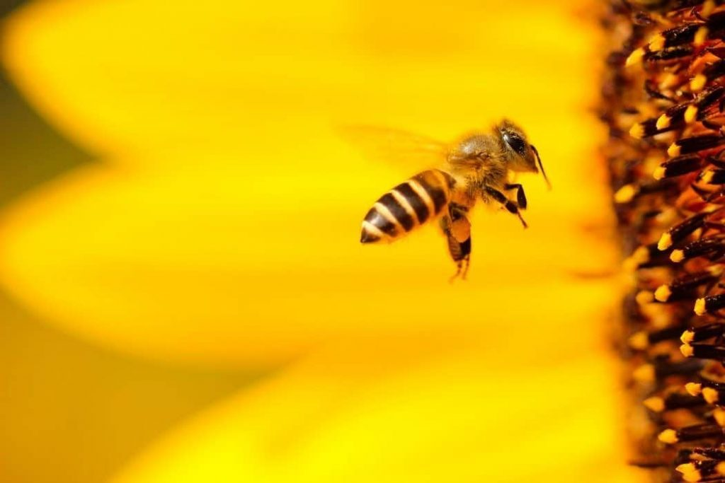 bee flying by a sunflower