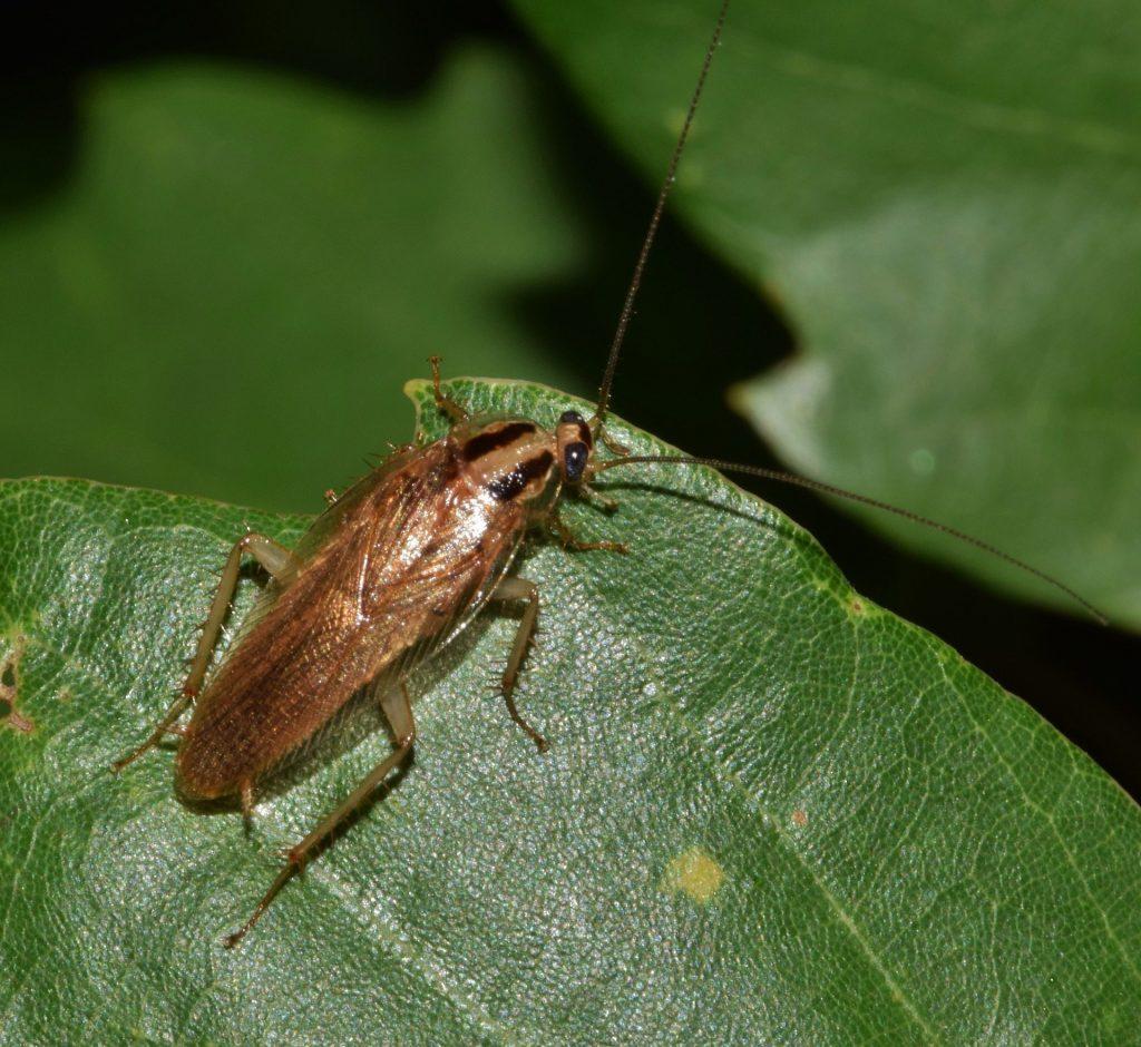 german cockroach on green leaf