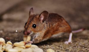MOUSE EATING PEANUTS