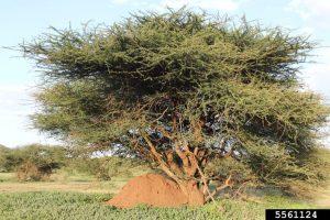 termite mound under a tree