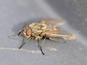 cluster flies, cluster fly, house fly, house flies, rest easy pest control, pest control nyc, exterminator nyc, pest control long island, exterminator long island