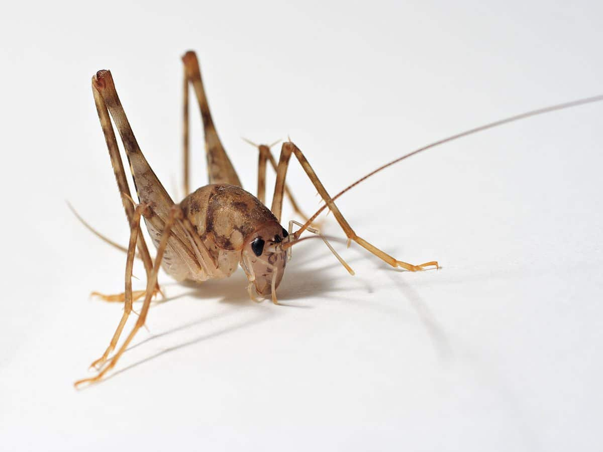 Spider Crickets The Critters That You Want To Get Rid Of