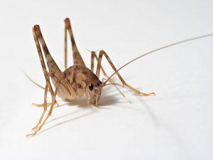 spider cricket