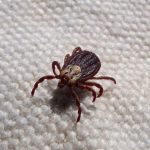 a tick scurrying on a carpet