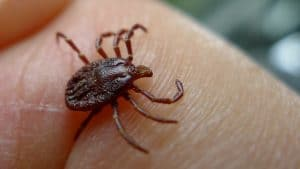 a tick in someone's palm of hand