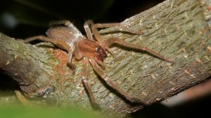 sac spider on tree branch