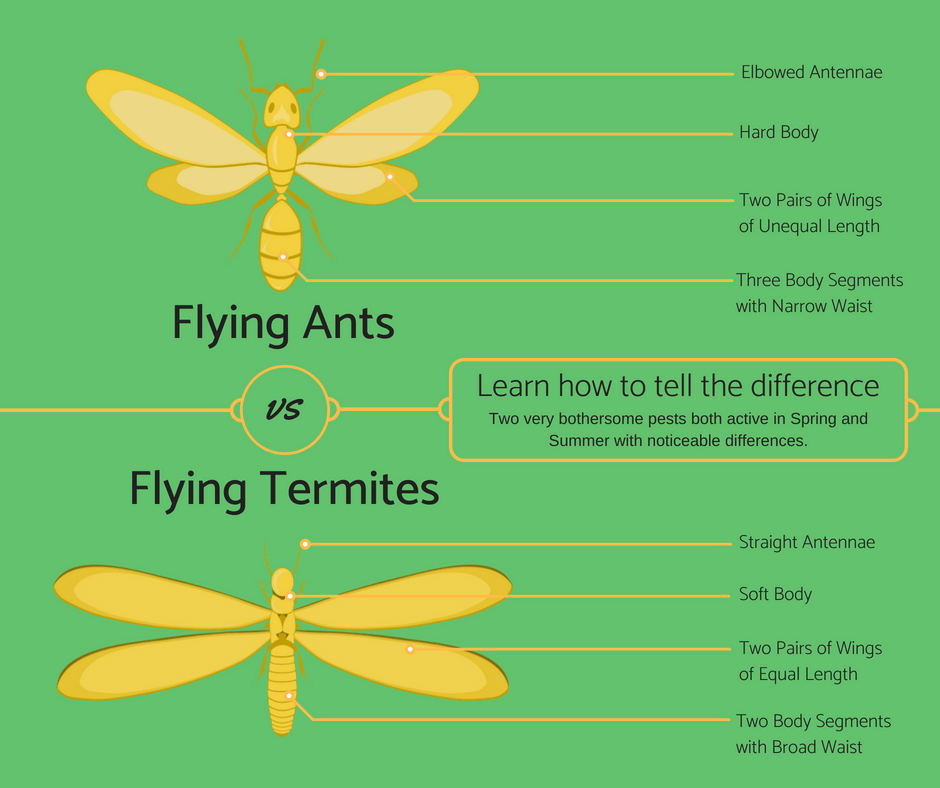 Flying Ants vs Flying Termites Infographic