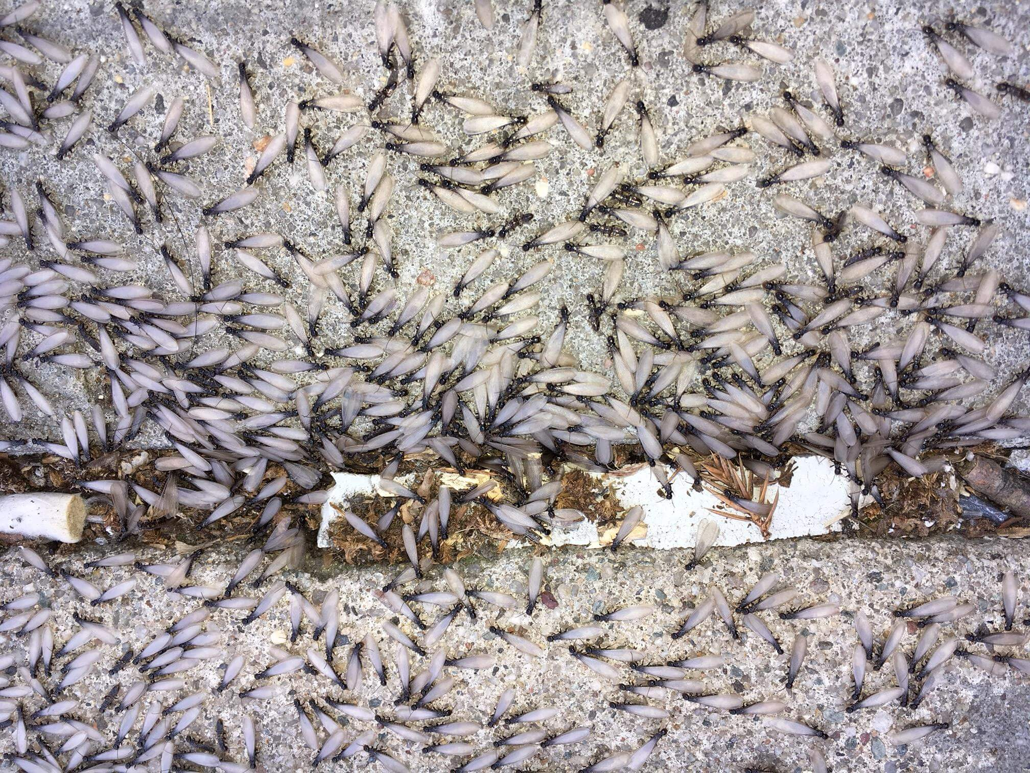 Flying Ants Vs Winged Termites Easy Ways To Tell The Difference