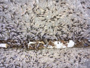 winged termites swarming on concrete ground