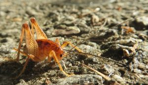 a camel cricket on the ground