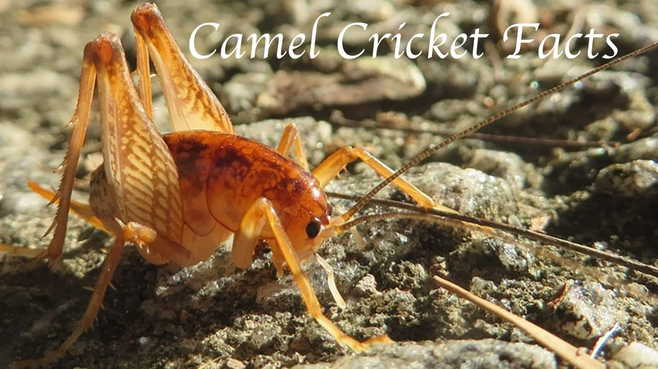 Camel Cricket Facts and FAQs