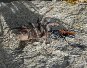 A Tarantula Hawk dragging a tarantula to its burrow